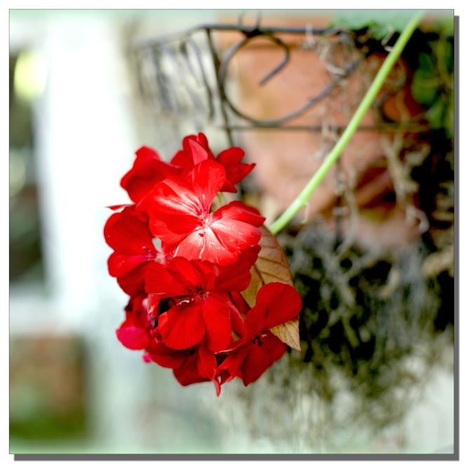 geranium_1.jpg