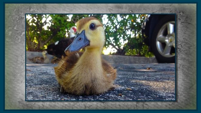 duckling 1.jpg