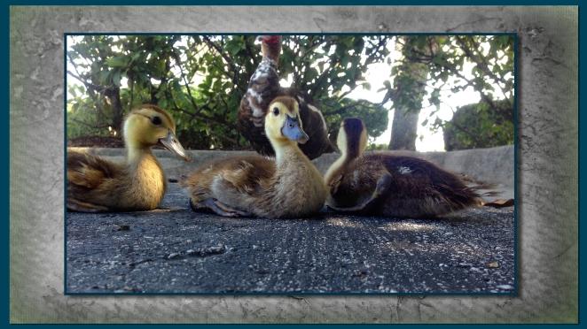 duckling 7.jpg