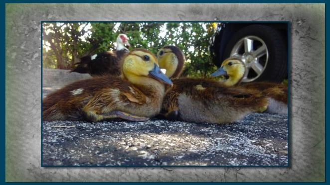 ducklings 5.jpg